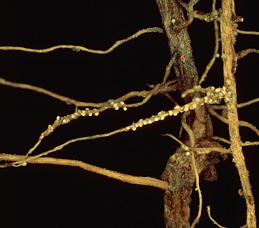 Pea Cyst Nematode (Heterodera gottingiana) recently formed cysts on Pea roots (Pisum sativum).