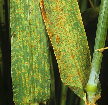 Brown Rust (Puccinia hordei) infection and pustules on Barley leaves (Hordeum vulgare).