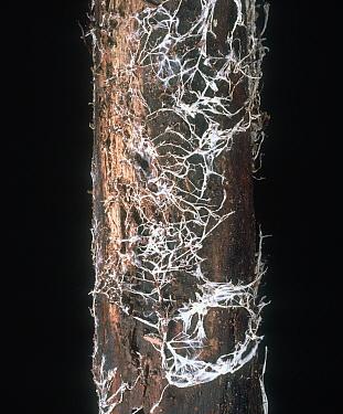 Honey Fungus (Armillaria mellea) rhizomorphs and mycelium under Oak tree bark (Quercus sp).