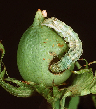 Cotton Bollworn (Helicoverpa armigera) caterpillar feeding on a Cotton boll (Gossypium).