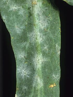 Powdery Mildew (Erysiphe cruciferarum) pustules on an Oilseed Rape or Canola leaf (Brassica napus).