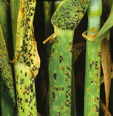 Brown Rust (Puccinia hordei) black teliospores and uredospore pustules on Barley stems (Hordeum vulgare).