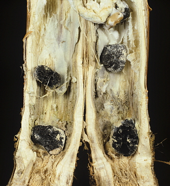 Stem Rot (Sclerotinia sclerotiorum) sclerotia in an Oilseed Rape / Canola stem section (Brassica napus).