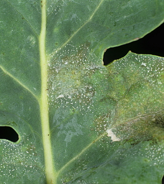 Light Leaf Spot (Pyrenopeziza brassicae) lesions on an Oilseed Rape / Canola leaf (Brassica napus).