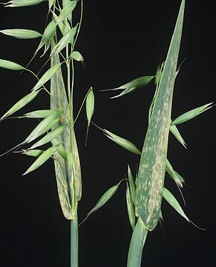Powdery Mildew (Erysiphe graminis) on Oat flag leaves (Avena sativa).