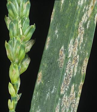 Powdery Mildew (Erysiphe graminis) infection on Wheat ear and flagleaf (Triticum aestivum).