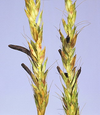 Ergot (Claviceps purpurea) on seeds in a Timothy Grass (Phleum sp) seedhead.