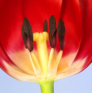 Section through the flower of a Tulip (Tulipa sp), Lustige Witwe variety, to show the petals, stamens, and stigma. Note the pollen on the stamens and stigma.