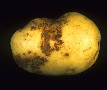 Black Scurf (Rhizoctonia solani) scab-like damage to the skin of a Potato tuber. Scotland, UK.