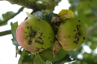 Apple Scab (Venturia inaequalis) infection on Bramley cooking Apples (Malus communis). England, UK.