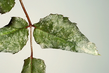 Powdery Mildew (Sphaerotheca pannosa) infection on Climbing Rose leaves (Rosa sp). England, UK.