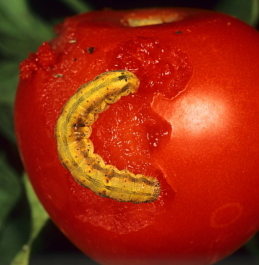 Tomato Fruitworm (Helicoverpa armigera) on a damaged Tomato fruit (Lycopersicon esculentum). Portugal.