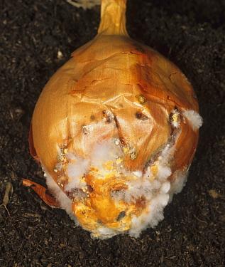 White Rot Mould (Sclerotium cepivorum) on an Onion bulb (Allium cepa).