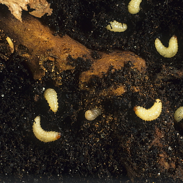 Vine Weevil (Otiorhynchus sulcatus) larvae in soil around a root.