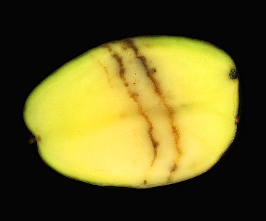 Spraing symptoms of Mop Top Virus (PMTV) in a Potato tuber section (Solanum tuberosum).