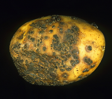 Powdery Scab (Spongospora subterranea) severe infection and lesions on a Potato tuber (Solanum tuberosum).