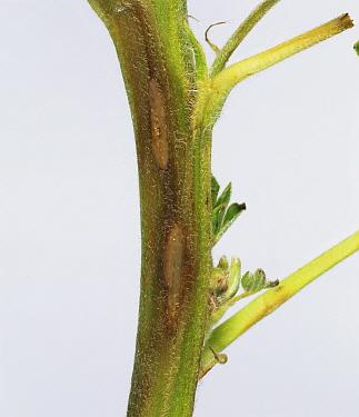 Anthracnose (Colletotrichum acutatum) lesions on a Lupine stem (Lupinus sp).