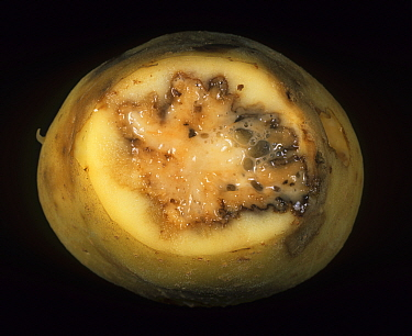 Ring Rot (Corynebacterium sepedonicum) internal damage to a Potato tuber (Solanum tuberosum). Maine, USA.