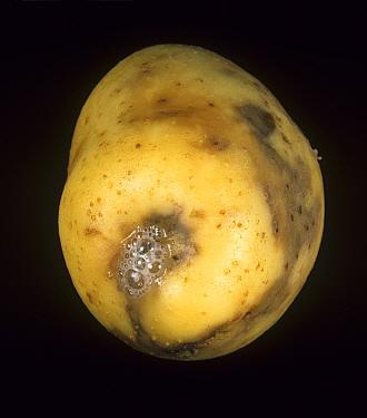 Ring Rot (Corynebacterium sepedonicum) on a Potato tuber stolon end damage (Solanum tuberosum). Maine, USA.