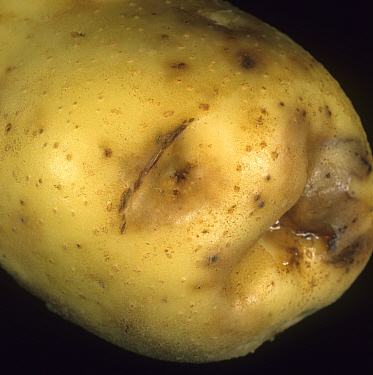 Ring Rot (Corynebacterium sepedonicum) enlarged discolored eye on a Potato tuber (Solanum tuberosum). Maine, USA.