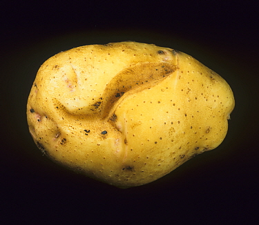 Potato Tuber Spindle Virus causing cracking and distortion of a Potato tuber (Solanum tuberosum). New Brunswick, Canada.