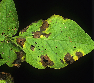 Potato Early Blight (Alternaria alternata) lesion on a Potato leaf (Solanum tuberosum).