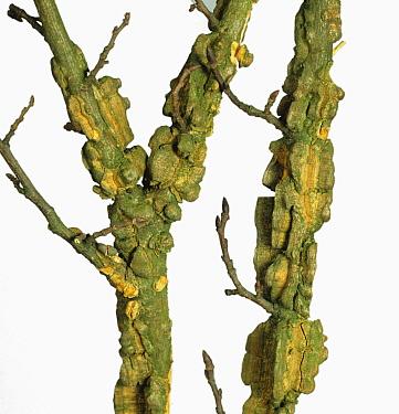 Wingbark Virus damage to Elm stems (Ulmus procera). England, UK.