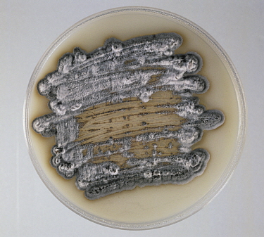 Septoria Leaf Spot (Septoria tritici) fungal culture on agar.
