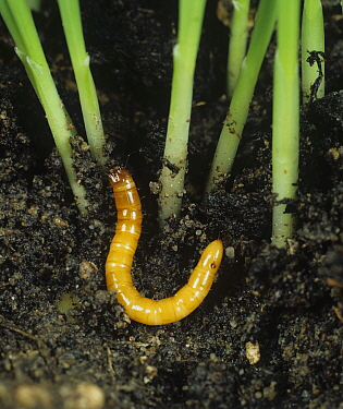 Wireworm (Agriotes lineatus), Click Beetle larva, at the base of Barley seedlings (Hordeum vulgare). England, UK.
