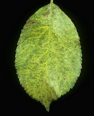 Bronzing and feeding damage to an Apple leaf (Malus communis) by Red Spider Mites (Panonychus ulmi). France.
