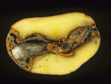Gangrene seen in a sectioned Potato tuber (Solanum tuberosum) caused by a fungal pathogen (Phoma exigua).