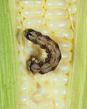American Bollworm Moth caterpillar (Helicoverpa armigera) eating Maize / Corn (Zea mays).