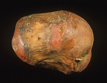 Bacterial Soft Rot (Erwinia carotovora) external symptoms on a diseased and rotted Potato tuber (Solanum tuberosum).