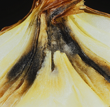 Neck Rot (Botrytis allii) infection in an Onion bulb.