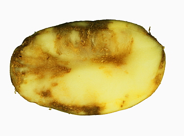 Potato Late Blight (Phytophthora infestans) flesh damage in a Potato section (Solanum tuberosum).