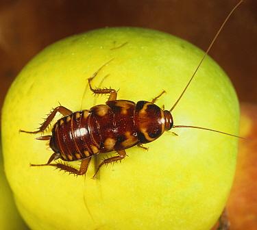 Australian Cockroach (Periplaneta australasiae) nymph on an Apple.