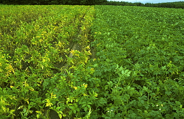Golden Potato Cyst Nematode (Heterodera rostyochiensis) damage to an unprotected Potato (Solanum tuberosum) crop (left) next to a cultivated variety resistant to the pest (right).