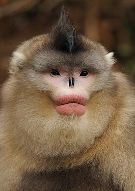 Yunnan Snub-nosed monkey,(Rhinopithecus bieti) portrait, Ta Chen NP, Yunnan province, China