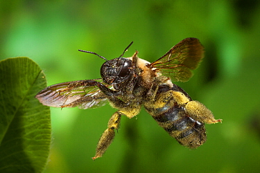 Eastern carpenter bee (Xylocopa virginica) covered in pollen, in flight near North Cherokee National Forest, Tennessee, USA, June.