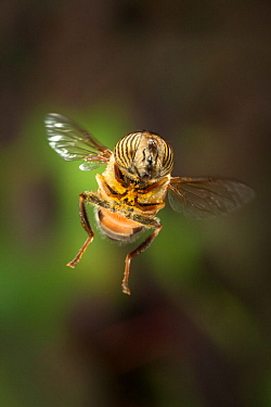 African hover / Band-eyed drone fly (Eristalinus taeniops) in flight, near Bulawayo, Zimbabwe, November.