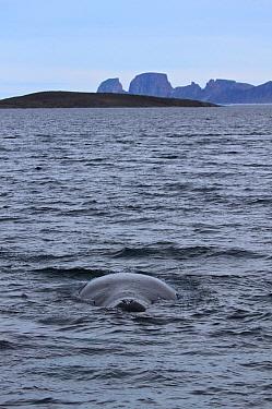 Bowhead Whale (Balaena mysticetus) at surface showing blowhole on the east coast of Baffin island, Qikiqtarjuaq, Nunavut, Canada, August 2012.