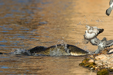 Wels catfish (Silurus glanis) hunting Feral pigeon (Columba livia) by lunging on the riverbank, Tarn River, France August