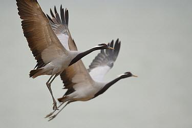 Demoiselle crane (Grus virgo) in flight, Inner Mongolia, China