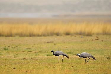 Demoiselle crane (Grus virgo) two walking on grass in Inner Mongolia, China