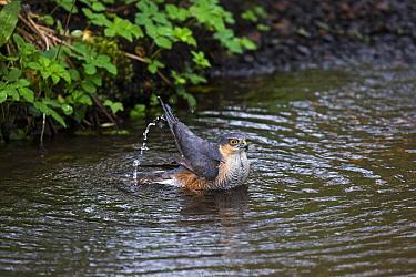 Eurasian sparrowhawk (Accipiter nisus) male bathing in pool in garden stream, Corfe Mullen, Dorset, England, UK. April.