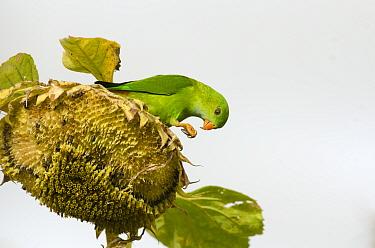 Vernal hanging parrot (Loriculus vernalis) feeding on Sunflower (Helianthus sp) seeds. Near Bandipur National Park, Karnataka, India.