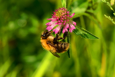 Common carder bee (Bombus pascuorum) on Red clover (Trifolium pratense). Brown field site, Worcester, Worcestershire, England, UK. June.