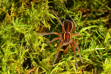 Raft spider (Dolomedes fimbriatus) on Sphagnum, Whixall Moss, Fenn's, Whixall and Bettisfield Mosses National Nature Reserve, Shropshire, England, UK. June.