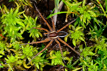 Raft spider (Dolomedes fimbriatus) on Sphagnum, County Kerry, Republic of Ireland. June.