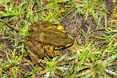 Sahara frog (Pelophylax saharicus), Bou Hachem Natural Park, Rif Mountains, Morocco.